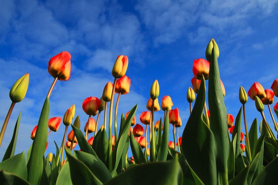 plavo-nebo-tulipani
