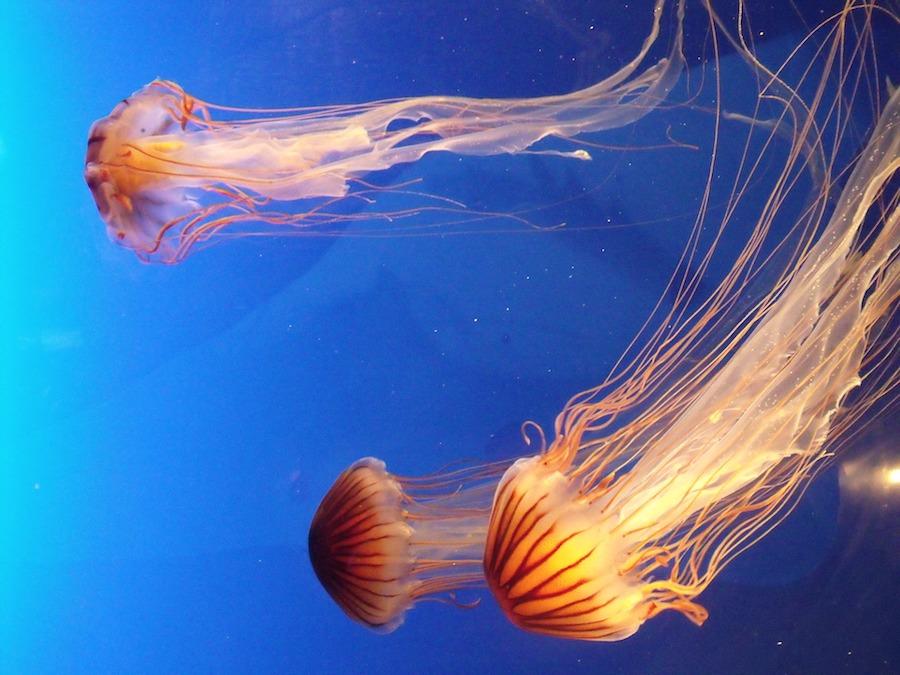 meduza_mala