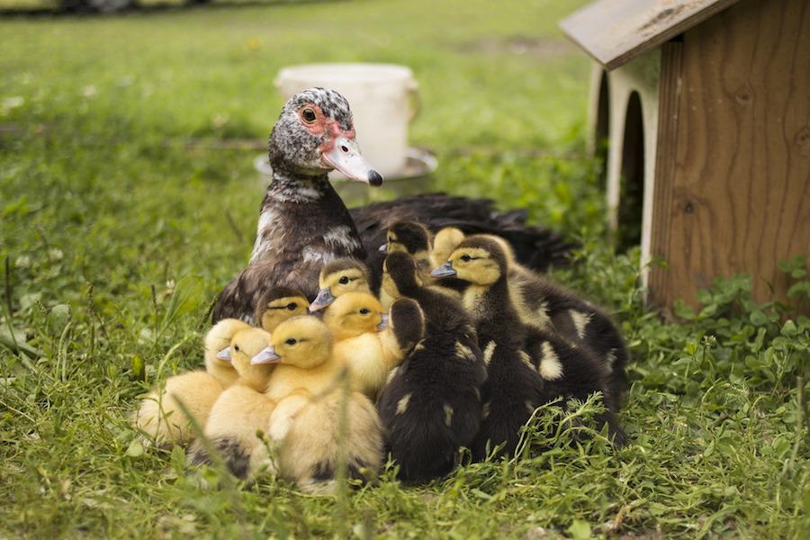 patka-s-mladima