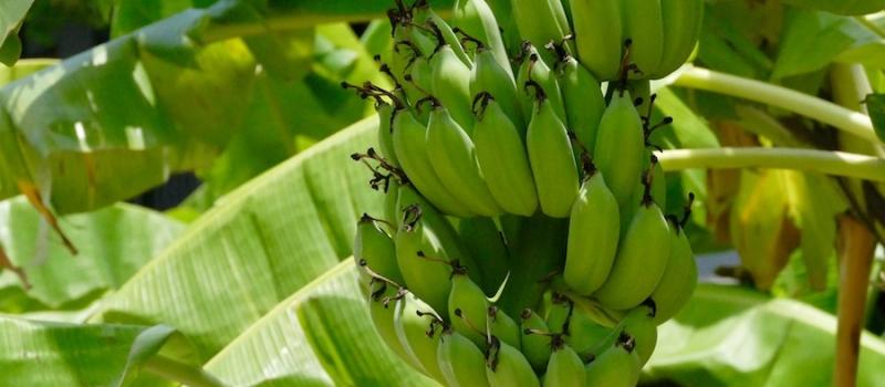 banane_mala