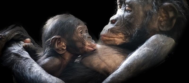 gorila_mala