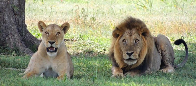 lavovi_mali